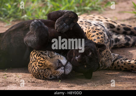 A dark (melanic) jaguar and a normal patterned one. This is a pair, male and female. - Stock Photo