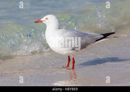 The Silver Gull (Chroicocephalus novaehollandiae) is the most common gull seen in Australia. - Stock Photo