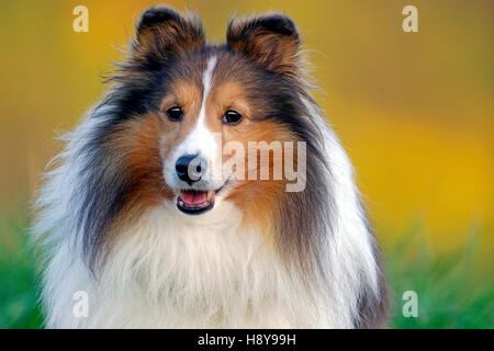 Shetland Sheepdog standing in high grass, late afternoon sunlight - Stock Photo