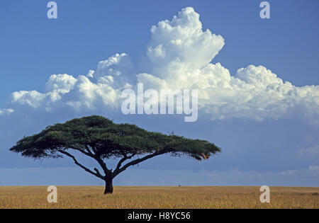 Single Umbrella thorn acacia (Vachellia tortilis) on the grasslands of Serengeti National Park, Tanzania - Stock Photo