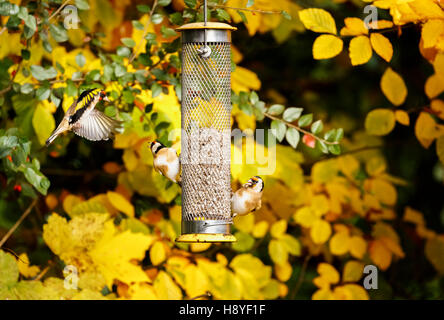 Three European goldfinches (Carduelis carduelis) squabbling at a bird feeder in a garden in south-east England - Stock Photo