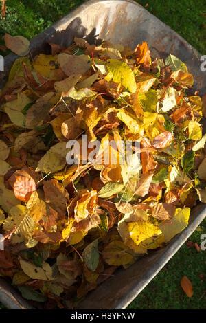 Autumn fallen golden leaves collected into a heap in a full wheelbarrow UK - Stock Photo