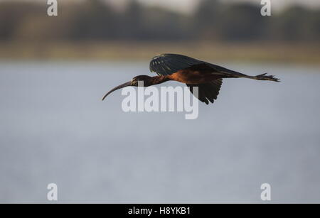 Glossy Ibis, Plegadis falcinellus in winter, flying to roost; Coto Donana National Park, Spain. - Stock Photo