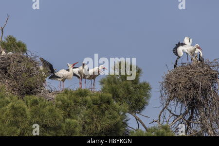 Breeding colony of White Storks, Ciconia ciconia, in old pines, Extremadura, South-West Spain - Stock Photo