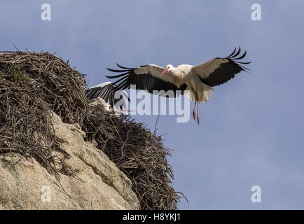 White Stork, Ciconia ciconia coming in to land at nest on granite boulder, at Los Barruecos Natural Monument, Extremadura, - Stock Photo
