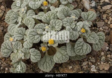 Turtleback or Velvet turtleback, Psathyrotes ramosissima in flower, Death Valley, California. - Stock Photo