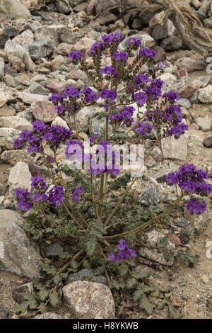 Notch-leaved phacelia, Phacelia crenulata in flower, Death Valley, in spring. California. - Stock Photo