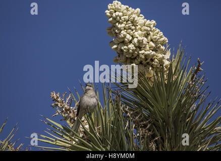 Northern Mockingbird, Mimus polyglottos on Joshua Tree in flower, Mojave desert, California. - Stock Photo