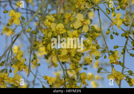 A desert shrub with yellow flowers in joshua tree national park blue palo verde tree parkinsonia florida in flower on river wash sonoran mightylinksfo