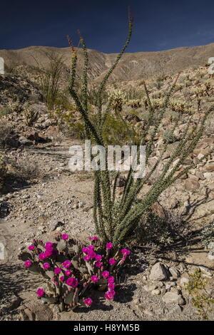 Beavertail Cactus, Opuntia basilaris, in flower in the Anza-Borrego Desert State Park, Sonoran Desert, California. - Stock Photo