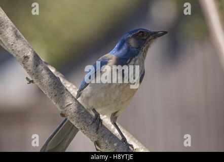 Western Scrub jay, Pacific race; Aphelocoma californica. Perched in garden. - Stock Photo