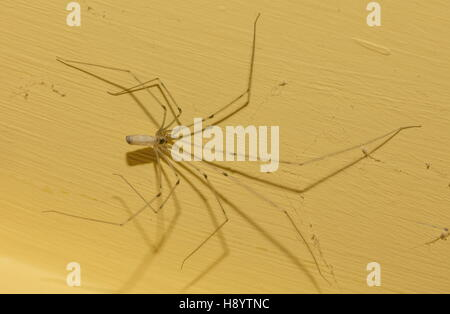 Female Daddy Long-legs Spider, Pholcus phalangioides, on bathroom wall. - Stock Photo