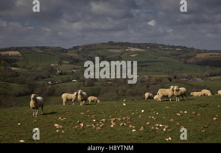 Dorset sheep feeding in fields above North Chideock, West Dorset - Stock Photo