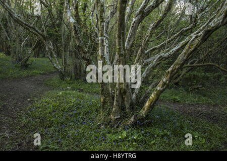 Path through ancient hazel coppice, with spring flowers, near Penmaen, Gower Peninsula, South Wales. - Stock Photo