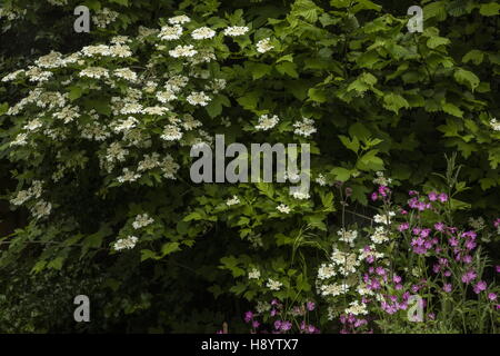Shrub corner with Guelder Rose, red campion, Hazel etc in a wildlife garden, Dorset. - Stock Photo