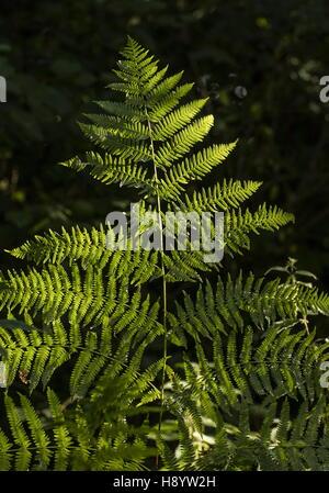 Bracken, Pteridium aquilinum - Stock Photo