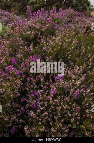 Dorset Heathland - Bell Heather, Erica cinerea, and Heather Calluna vulgaris, Hartland Moor, Dorset. - Stock Photo