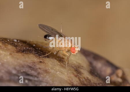 Male Common fruit fly, Drosophila melanogaster, on rotting bananas. Stock Photo