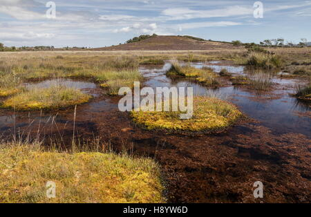 Bog pools and vegetation on Middlebere Heath, Hartland Moor NNR, Dorset. - Stock Photo