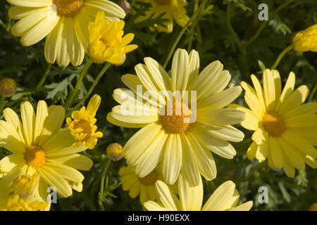 Corn Marigold, Chrysanthemum segetum, flowers Stock Photo