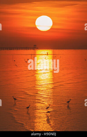 Vertical scene of egrets walking on beach surface to find food during golden hour of sunrise reflecting on water - Stock Photo