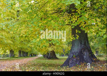 lime tree avenue in putbus schlosspark, rügen, mecklenburg-vorpommern, germany - Stock Photo