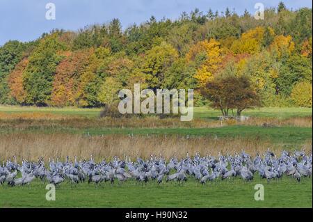 common cranes resting, grus grus, gross mohrdorf, mecklenburg-vorpommern, germany