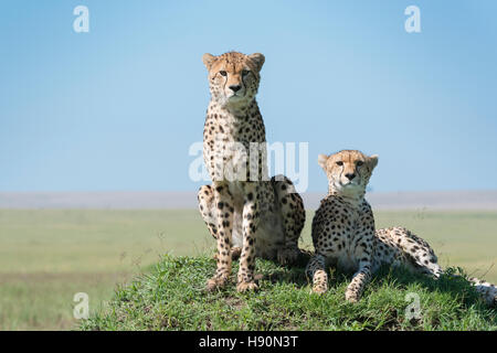 Cheetah (Acinonix jubatus) on hill in savanna, close up, Maasai Mara National Reserve, Kenya - Stock Photo