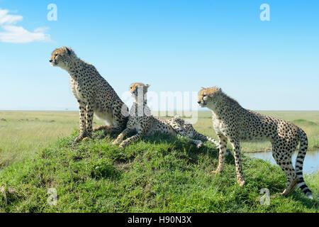 Cheetah (Acinonix jubatus) on hill in savanna, close up with wide angle, Maasai Mara National Reserve, Kenya - Stock Photo