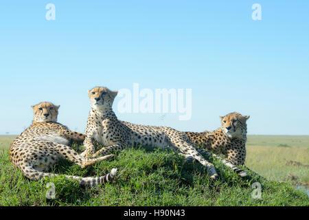 Three Cheetah (Acinonix jubatus) on hill in savanna, close up, Maasai Mara National Reserve, Kenya Stock Photo
