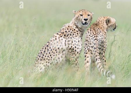 Two Cheetah (Acinonix jubatus) on the look out at savanna, Maasai Mara National Reserve, Kenya - Stock Photo