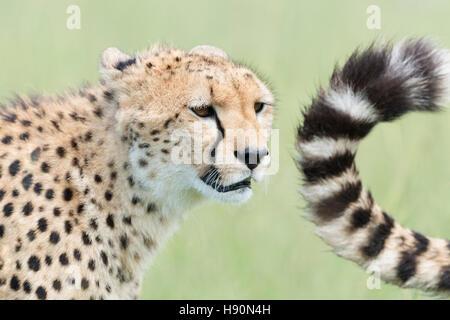 Cheetah (Acinonix jubatus) portrait and tail, Maasai Mara National Reserve, Kenya - Stock Photo