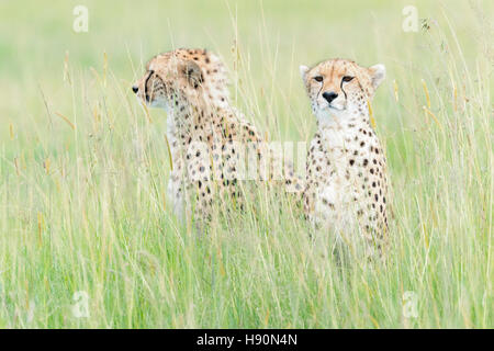 Two Cheetah (Acinonix jubatus) sitting on savanna, Maasai Mara National Reserve, Kenya - Stock Photo