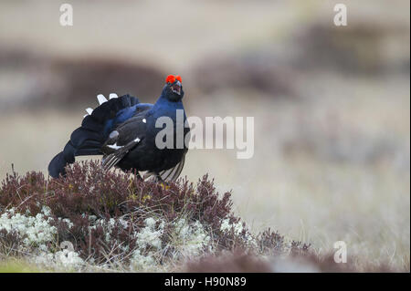 displaying male black grouse, lyrurus tetrix, hamra national park, gävleborgs län, sweden