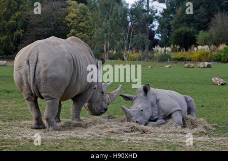 Southern White Rhinoceros (ceratotherium simum simum) calf and mother, Cotswold Wildlife Park, Oxfordshire - Stock Photo