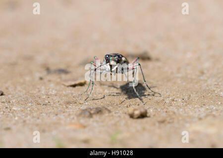 Duenen Sandlaufkaefer, Cicindela hybrida, Northern Dune Tiger Beetle - Stock Photo