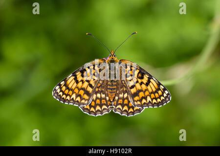Flockenblumen Scheckenfalter, Melitaea phoebe, Knapweed Fritillary Butterfly - Stock Photo