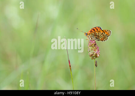 Roter Scheckenfalter, Melitaea didyma, The spotted fritillary or red-band fritillary - Stock Photo