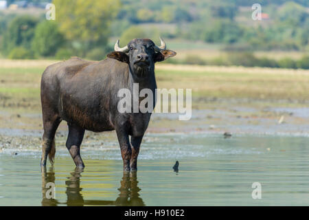 Wasserbueffel, Bubalis bubalis, Water Buffalo Kerkini Lake, Greece - Stock Photo