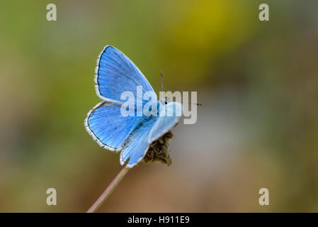 Hauhechel Blaeuling, Polyommatus icarus, Male Common Blue Butterfly - Stock Photo