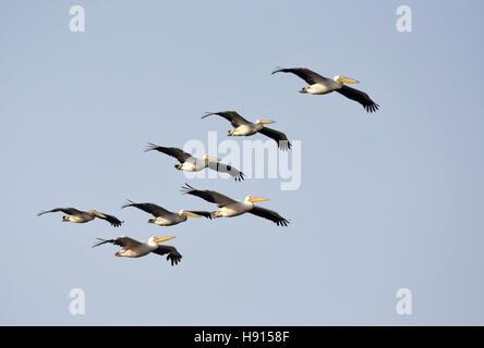Pelican flock in migration flight - Stock Photo