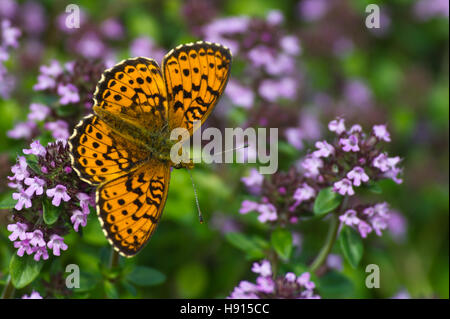 The beautiful Lesser Marbled Fritillary Butterfly (Brenthis ino) on flowering Lemon thyme (Thymus citriodorus ). - Stock Photo