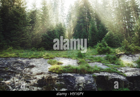 Sun rays shining through pine trees on summer morning, green natural landscape - Stock Photo
