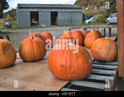 A collection of freshly picked tasty organic pumpkins on metal bars. Farm barn in blurry background - Stock Photo