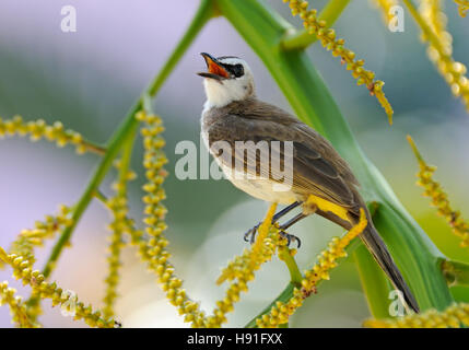 Yellow-vented Bulbul (Pycnonotus goiavier) at berry tree. Phuket island, Thailand - Stock Photo
