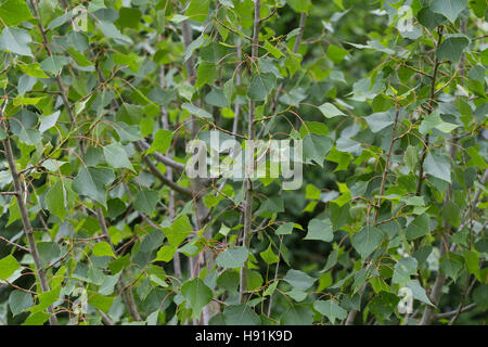 Schwarz-Pappel, Schwarzpappel, Pappel, Saarbaum, Populus nigra, black poplar, black-poplar - Stock Photo