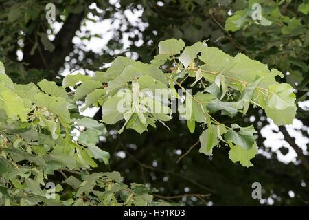 Silber-Linde, Silberlinde, Linde, Tilia tomentosa, Tilia argentea, silver linden, silver lime, Le tilleul argenté, - Stock Photo
