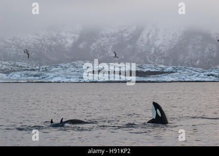 Spy hopping orca (Killer whale) in Tysfjord, Norway during winter, with snow on the mountains - Stock Photo