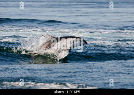 Jumping Pacific Whitesided Dolphin, Discovery Passage, Campbell River, Vancouver Island, Canada