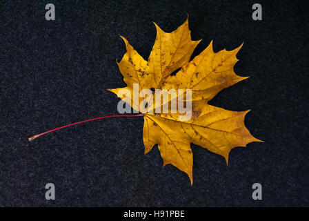The autumn maple leaf of yellow color is represented on a dark fleecy background. - Stock Photo